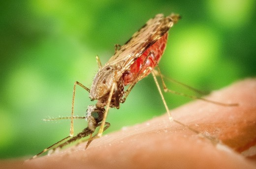 A female Anopheles albimanus engorged with human blood; this species of mosquito transmits malaria