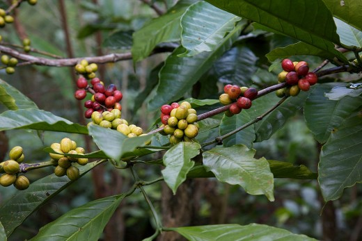 Coffee berries or cherries.
