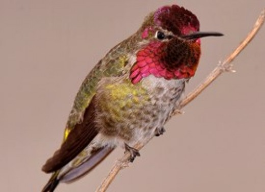 Anna's Hummingbird ( Calypte anna) is gray, white, and green. Females have black or dark green heads. The males have a ruby head and gorget.