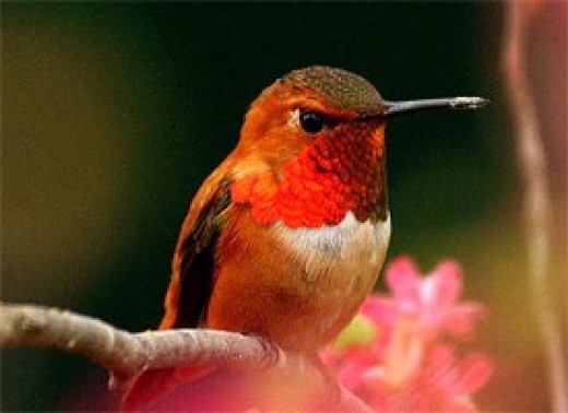 The Rufous Hummingbird (Selasphorus rufus) has a green and rusty-red body; hence, the name rufous which means red. The male has a brilliant copper-orange throat.