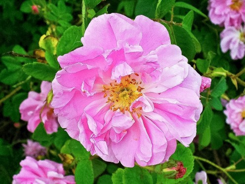The Damask rose, or Rosa damascena, is frequently used for oil extraction.