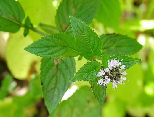 Peppermint is an excellent choice of herb to treat digestive issues.