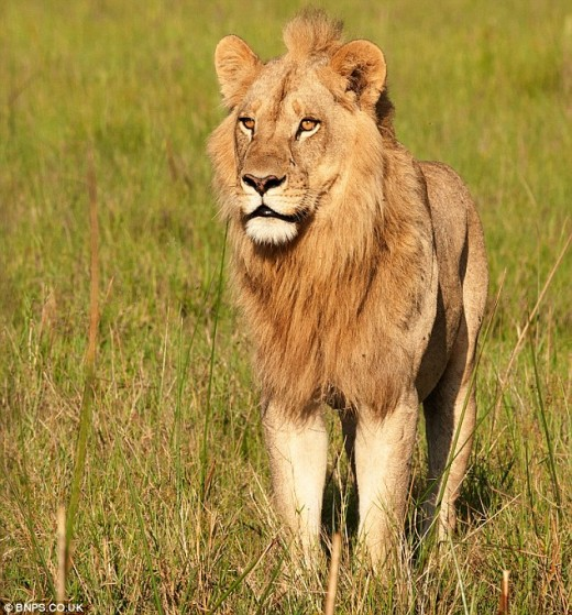 Maned Lioness