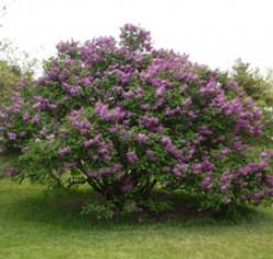 A blooming lilac bush
