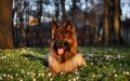 German Shepherd The Ancestor of Seven Other Dog Breeds