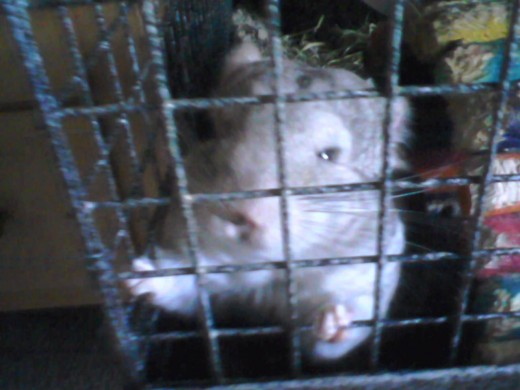 Hercules (My Chinchilla)