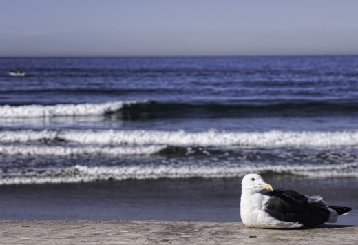 A seagull in La Jolla, CA.