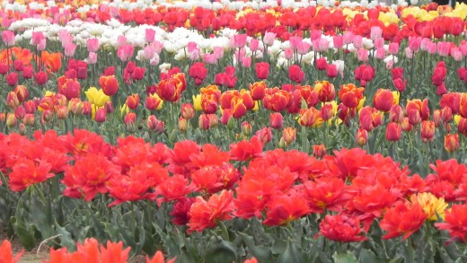 The Tulip Garden in Kashmir.