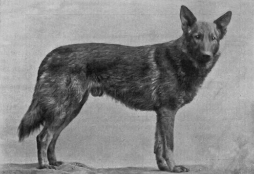 Original Breed Of German Shepherd Dog
