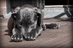 How to Love a Cane Corso