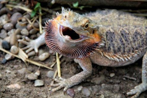 A prime example of why they're called bearded dragons.