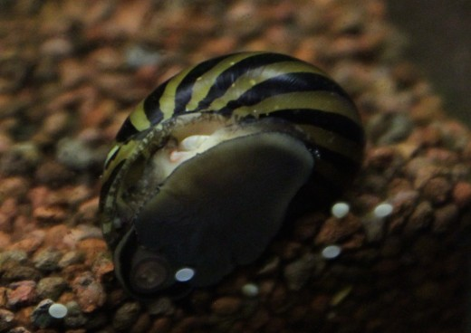 Zebra snail (Neritina natalensis)