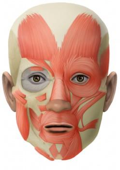 Human Body Anatomy Muscular System