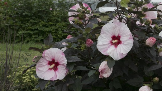 Perennial hibiscus easily overwinter in our zone  4a, 4b, 5a, 5b, 6a, 6b, 7a, 7b, 8a, 8b, 9a, 9b gardens.