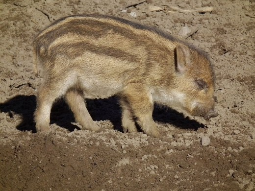 Wild boars can be found throughout the swamp