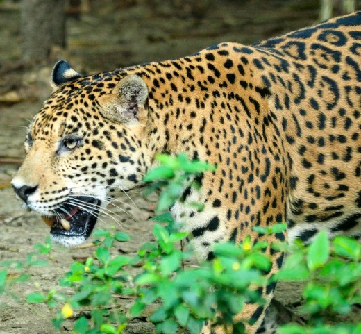 Leopards are caged at Aluxes Ecoparque