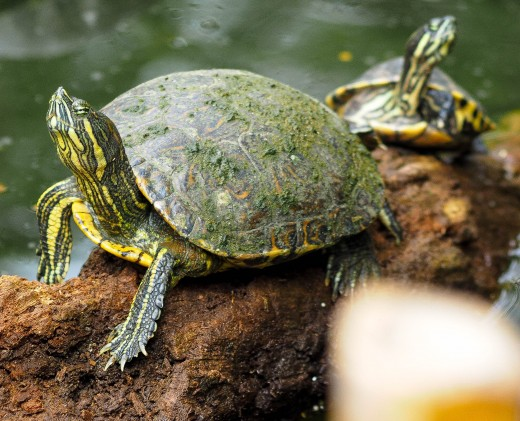 A turtle traffic jam!