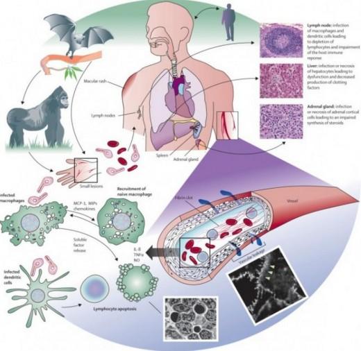 Ebola Virus Ecology