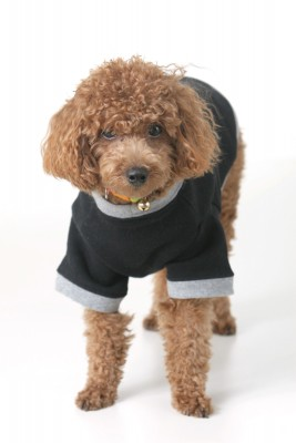 Many people love to play dress-up with their Toy Poodle!