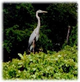 White Heron startled into flight...