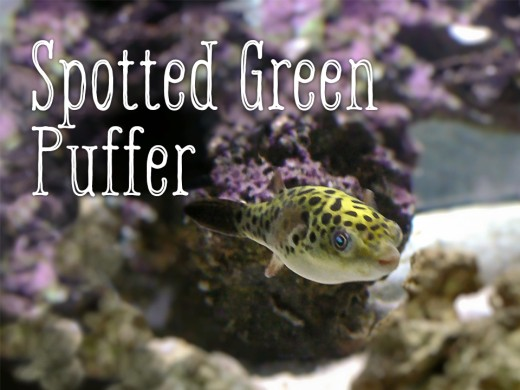 Spotted green puffers are not freshwater fish.