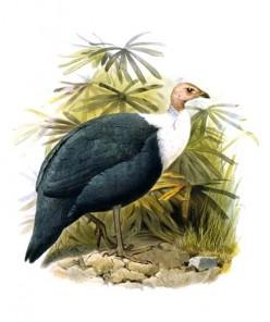 Agelastes, Aglaeactis,and Aglaiocercus  A-Z of Bird Genera