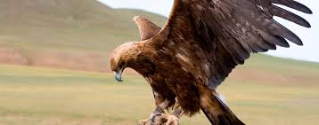 The golden eagle, the sworn enemy of the great horned owls.