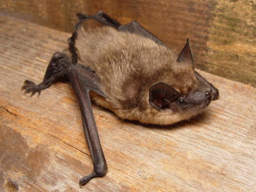 Serotine bats carry European Bat Lyssavirus Type 1. Most Commonly found in European Nations like UK, Spain