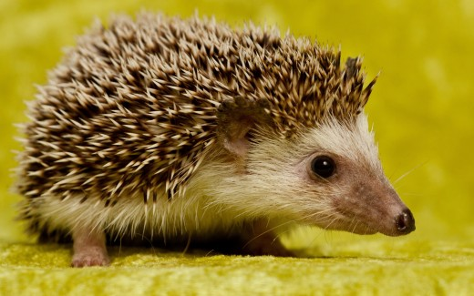 Intriguing Picture of a Hedge Hog