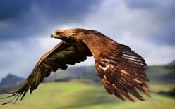 The Great Golden Eagle