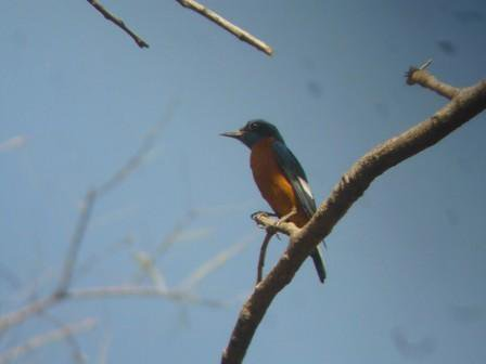 Bird: Blue Capped Rock Thrush