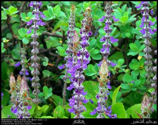 Flowering Forskolin Plant