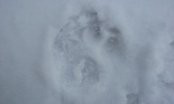 What kind of an animal made this paw print?