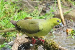 wedge Tailed Green Pigeon