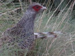 Chir Pheasant
