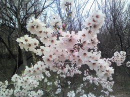 Apricot Flowers on a Tree in Kashmir