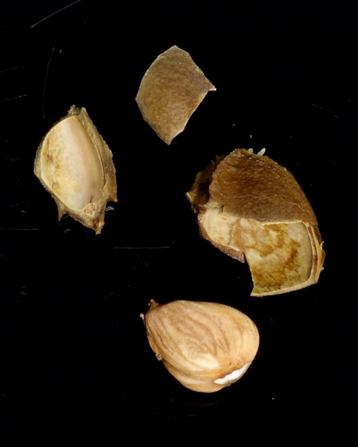 The broken seed and kernel of an apricot