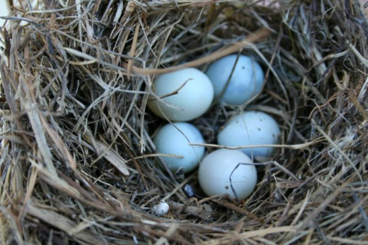 Bluebird eggs.
