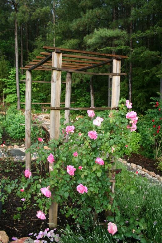 Climbing rose in my garden.