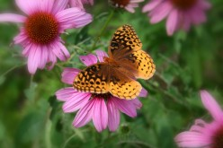 Three Native Perennial Flowers for American Butterfly Gardens