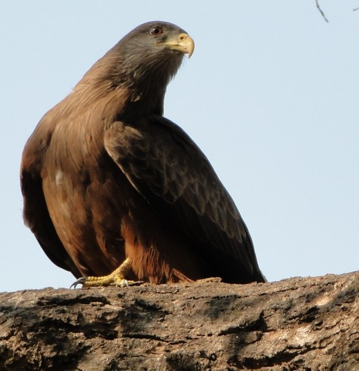 Yellow-billed Kite - often seen flying overhead