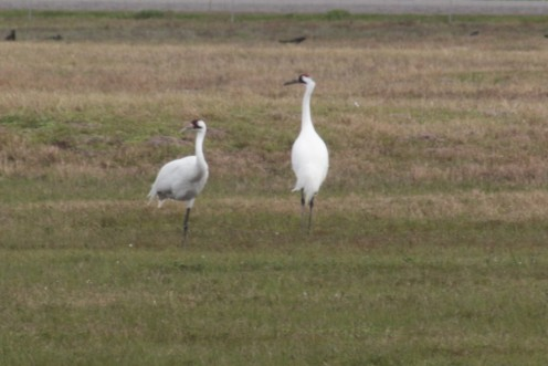 Whooping Cranes wintering on the Texas coast near Rockport.
