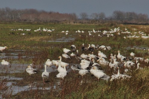 Snow Geese flocks in farm fields near Anahuac NWR.