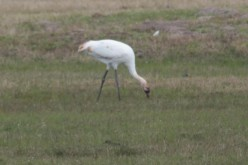 Whooping Cranes Killed in Texas - What Comes Next?