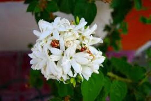 Winter Jasmine-flowers of February