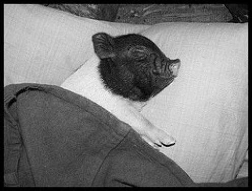 Sleep tight, Piggy...... All Photos courtesy Flickr