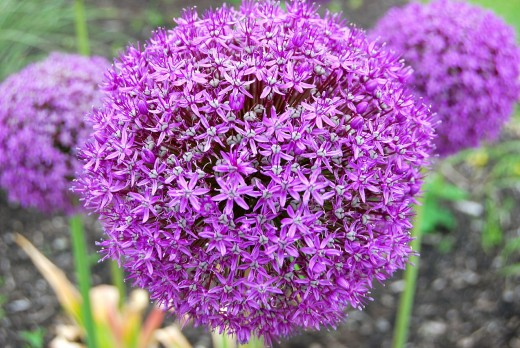 Note how the image shows the beautifully formed individual flowers that make up the umbel.