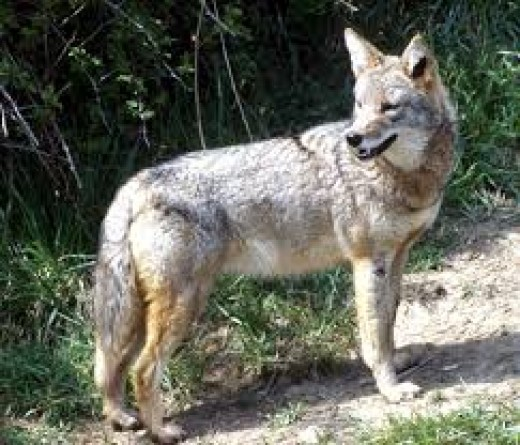 A coyote, NOT a wolf.