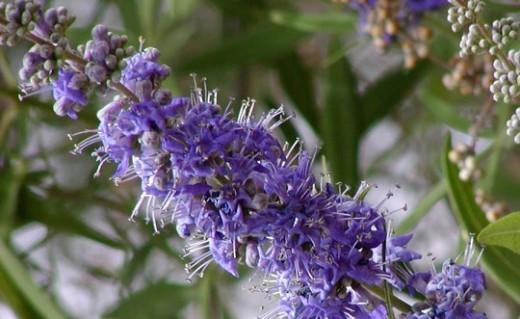 Agnus castus has long been used for regulating female hormones.