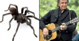 Johnny Cash and his spider bro' johnnycashi (aphonopelma) a new tarantula!